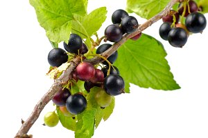 Currants isolated