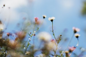 Dainty Daisies and Blue Skies