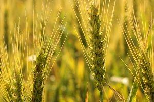 Ripe wheat background