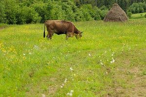 Cow graze