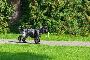 Dog breed spaniel on the grass