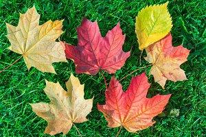Autumn leaf maple on green grass