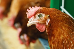 A red chicken on the background of others eating on a poultry farm
