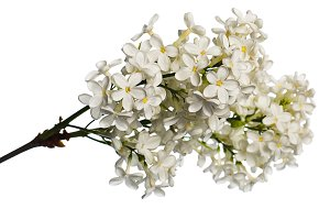 White lilac branch isolated on white