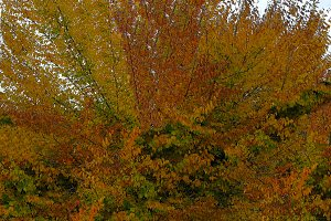 Autumn colored foliage