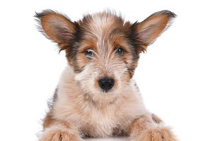 Australian Shepherd Mix Puppy
