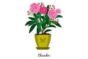 Oleander plant in pot