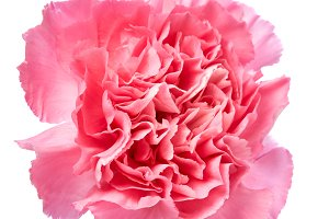 Pink carnation isolated on white bac
