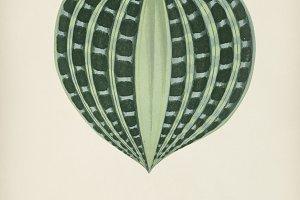Seersucker Plant hand drawn (PDS)