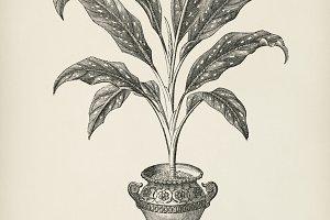 Dieffenbachia Baraquiniana (PSD)