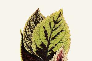 Illustration Beautiful Leaved Plant
