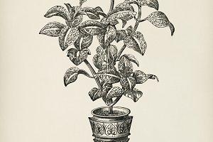 Eranthemum Sanguinolenthum (PSD)
