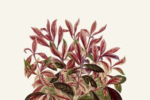 Illustration Beautiful Leaved Plant.