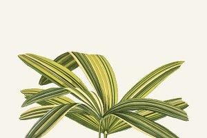 Illustration of Slender Lady Palm