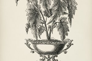 Begonia Falcifolia hand drawn (PSD)