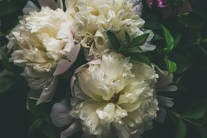 White and pink peony flowers over dark background, top view