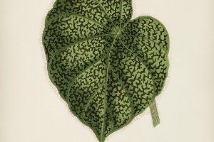 Begonia Daedalea hand drawn (PSD)