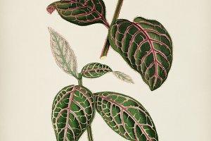 Eranthemum Sanguinolentum (PSD)