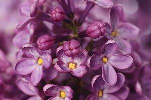 lilac bud macro