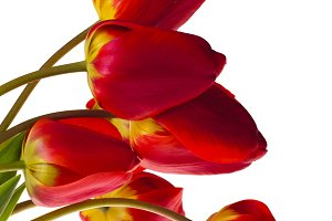 Red tulips isolated