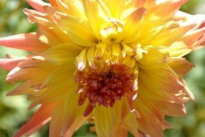 Splendid dahlia full sun