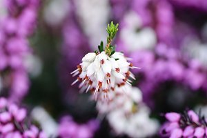 Romantic background with heather flowers