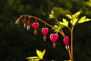 heart shape flower