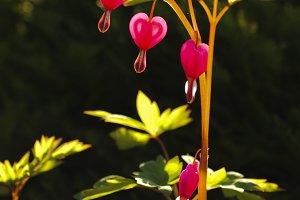 heart shape flower