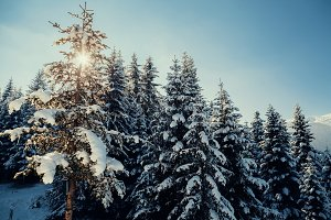 snowy pine forest with sunlight