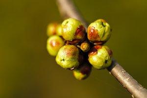 Buds macro
