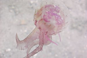 Pink medusa jellyfish in the sea