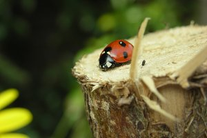 Red ladybird on the wood
