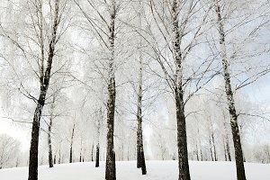 trees winter season.