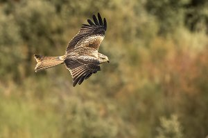 Red Kite, milvus