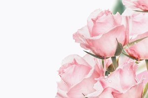 Pink roses bunch, close up, isolated