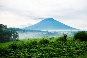 rice fields on the background of a v