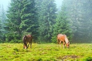Two wild horses