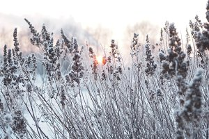 winter background. spikelets covered