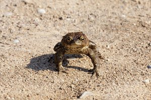 large toad, spring