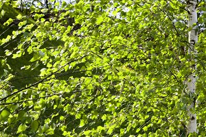 spring foliage of birches
