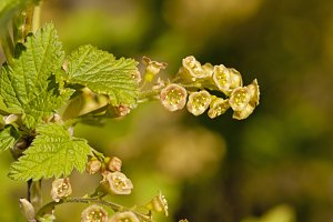 blossoming of blackcurrant