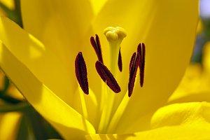 lily. macro
