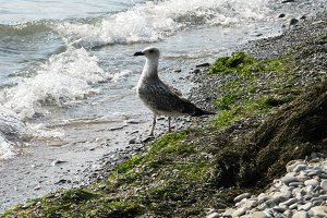Seagull bird animal walking on the s