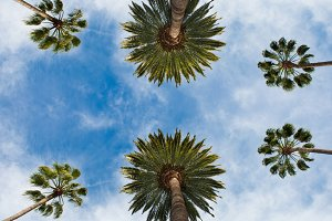 Californian palm against blue sky