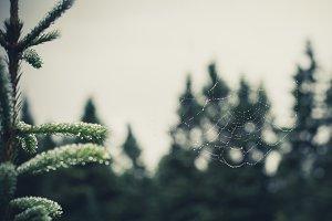 Spiderweb on Spruce