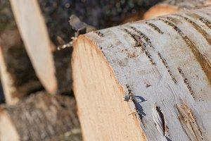 Closeup of Paper Birch Log Ends