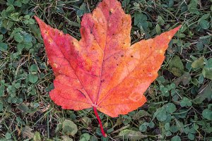 Red Maple Leaf on Clover
