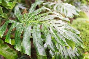 Monstera liana, vine, creeper tropical exotic background