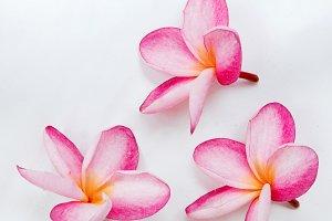 Frangipani plumeria flower on white