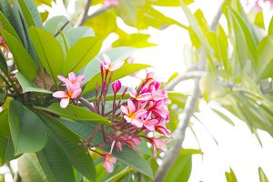 Frangipani pink plumeria flowers on a tree branch